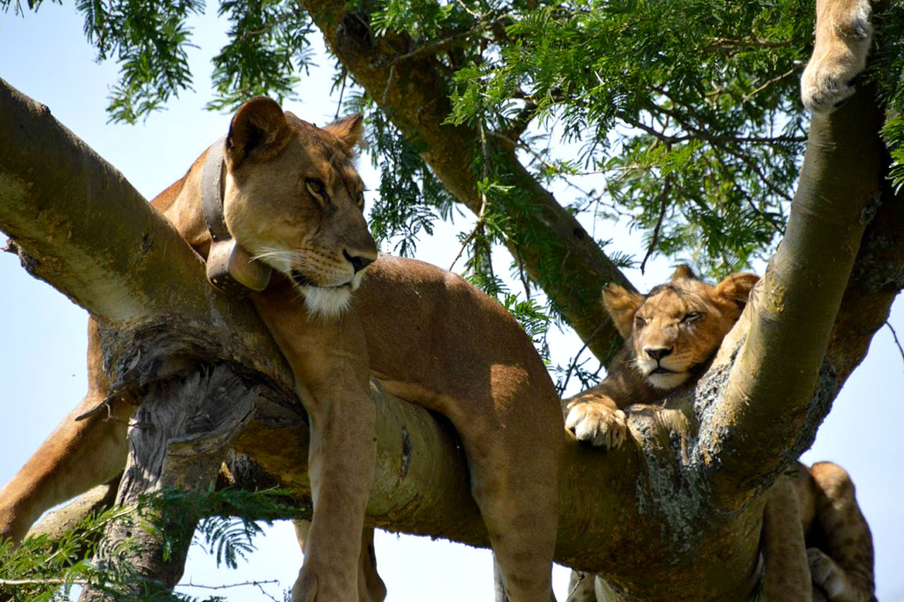 Queen Elizabeth national park commonly known for the tree climbing lions in the Ishasha plains