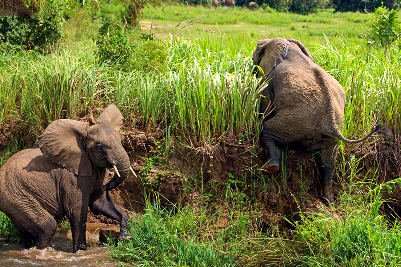 Elephants in Uganda, facts and best places to see African elephants