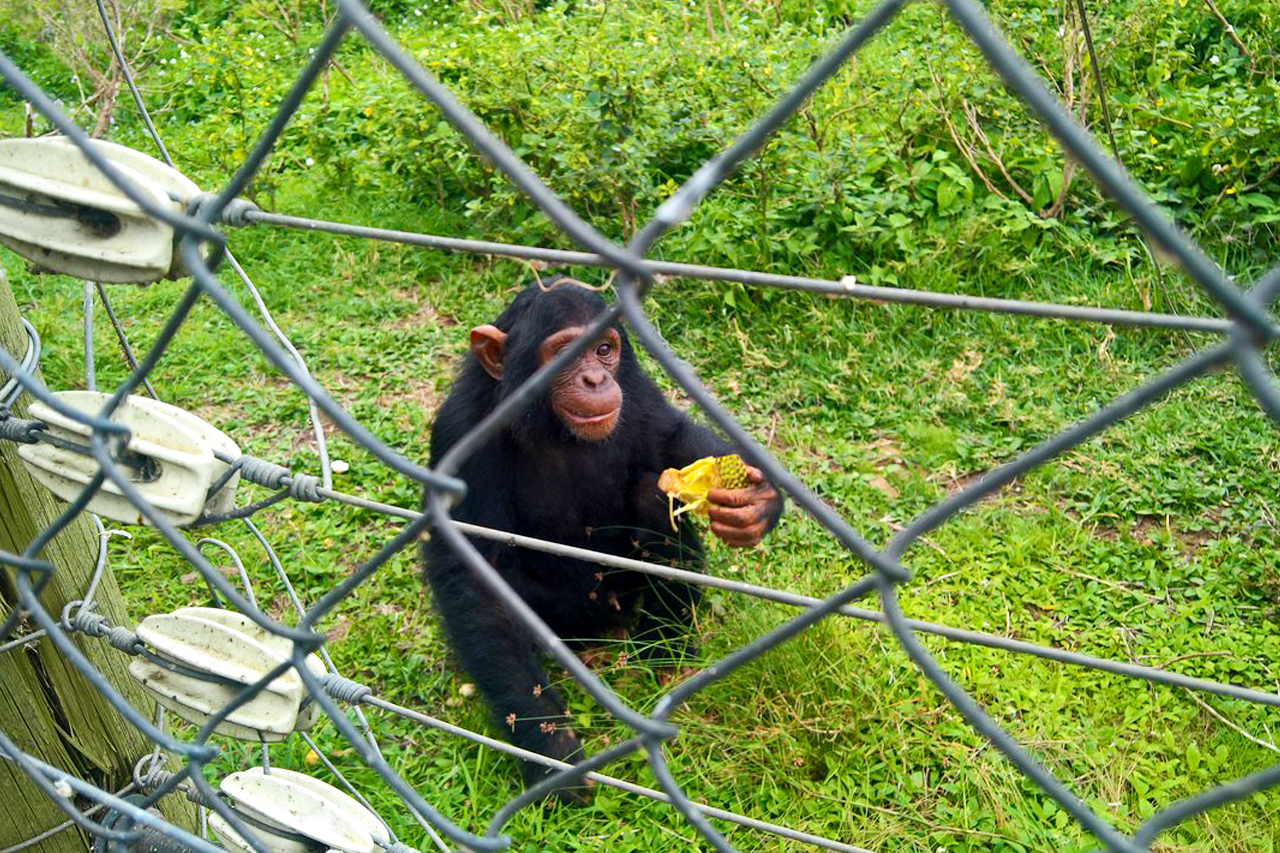 1 Day Ngamba Island chimpanzee tour for chimpanzee feeding experience