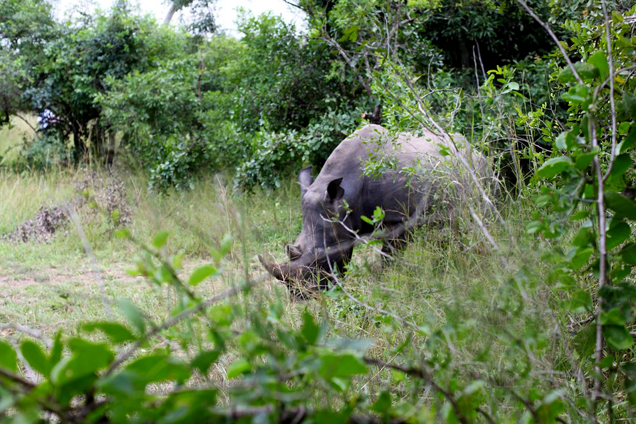 1 Day Rhino Tracking Tour to Ziwa Rhino Sanctuary in Uganda