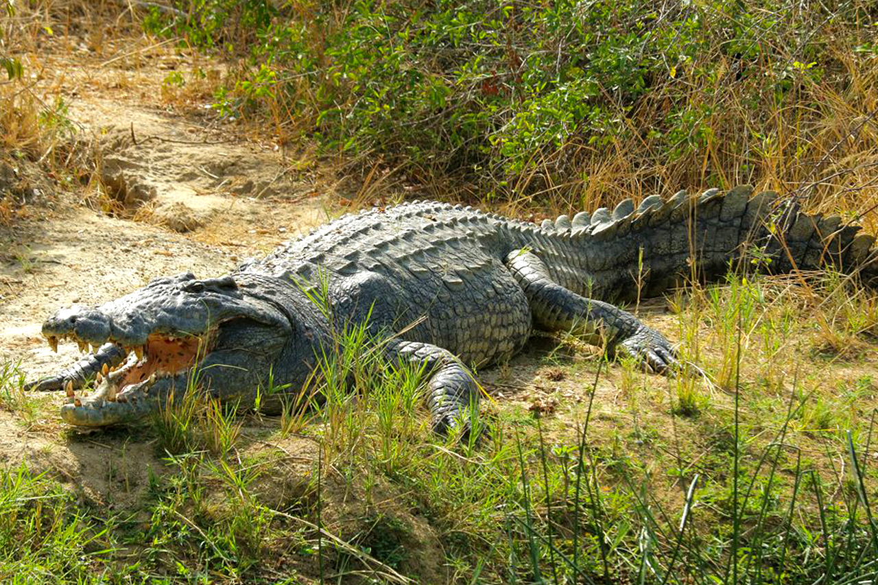 Facts about the Nile crocodiles