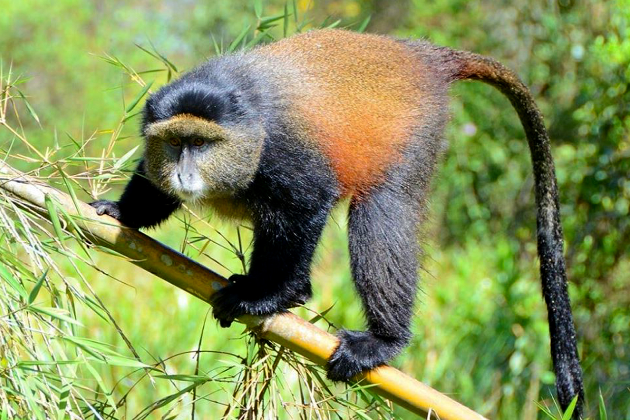 13 days uganda rwanda safari with golden monkey tracking in the volcanoes national park