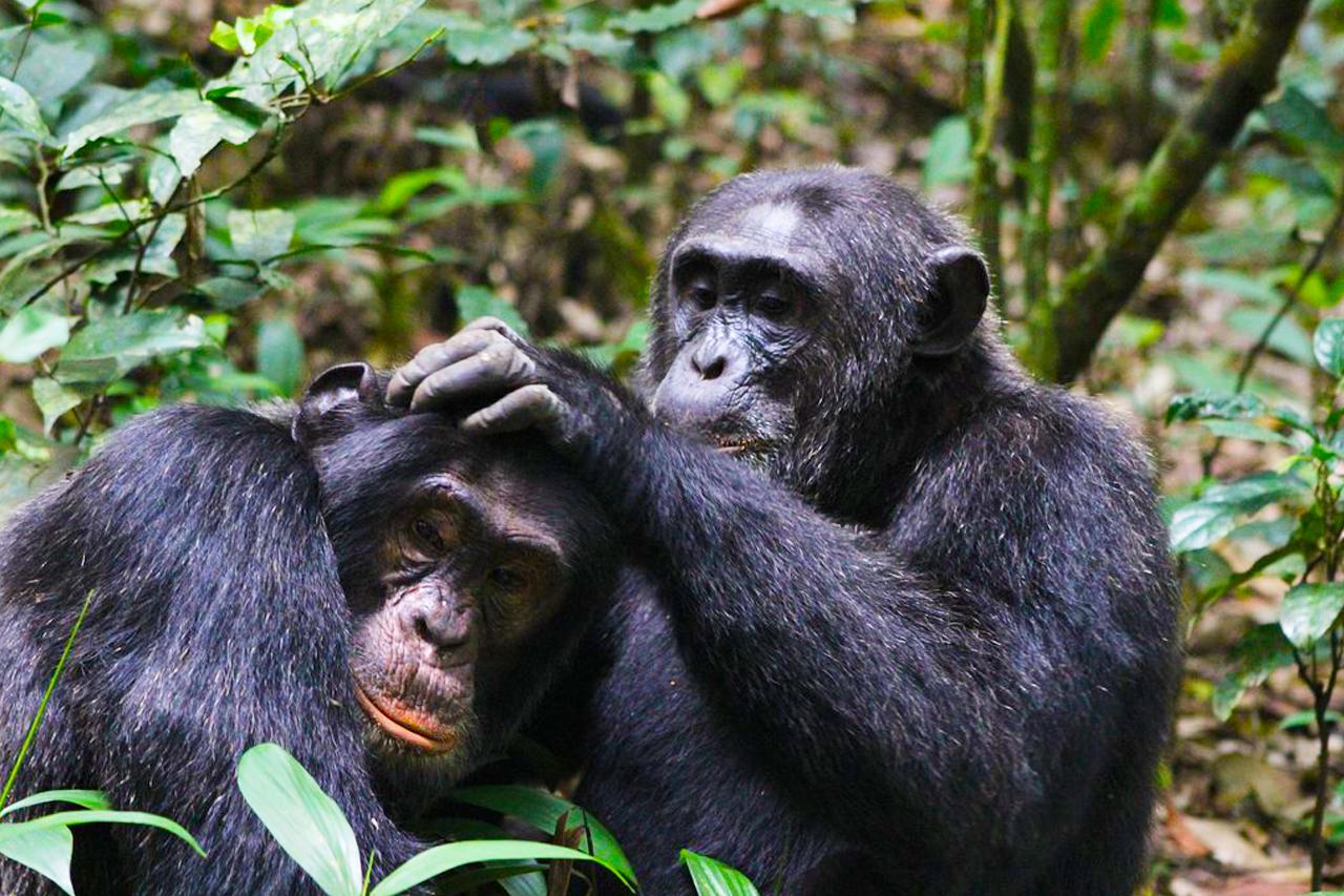 3 Days Kibale forest Chimpanzee tracking tour