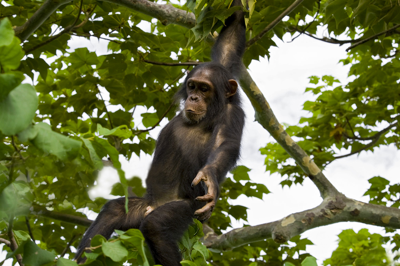 7 Days Uganda Primates and wildlife safari with gorilla and chimpanzee tracking experience