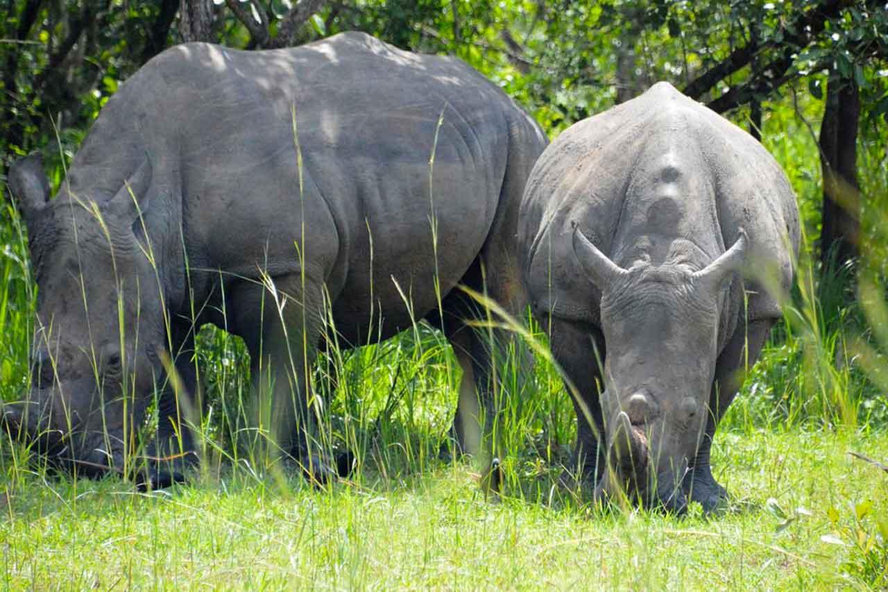 3 Days Murchison Falls Wildlife safari with rhino tracking tour, Uganda Big Five safari experience