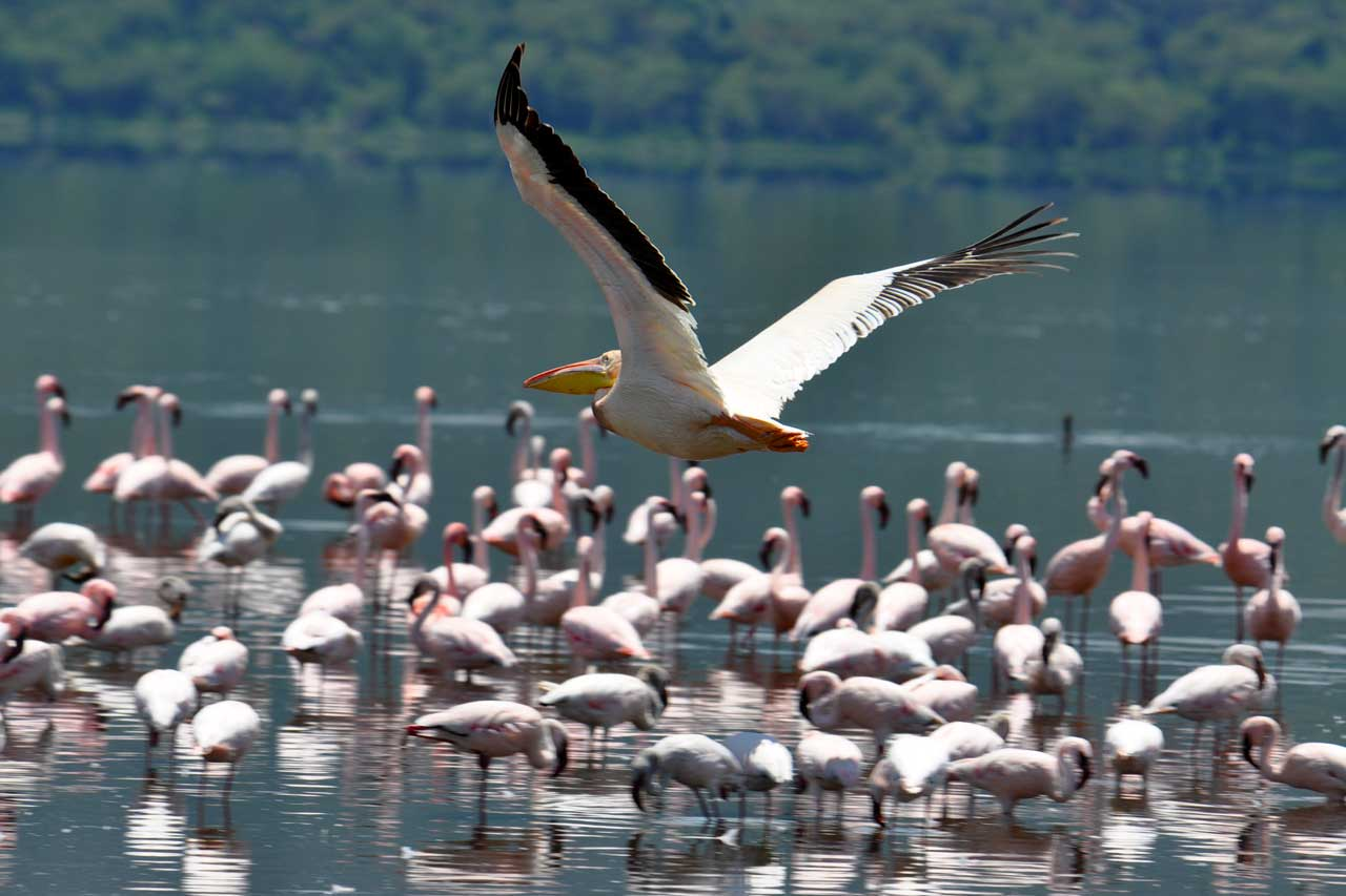 4 days masai mara and lake nakuru safari - spotting masses of flamingos