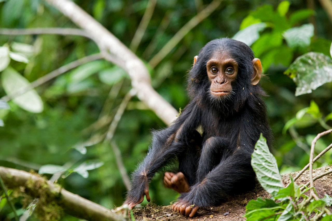 2 Days Chimpanzee Tracking Tour, Kibale national park