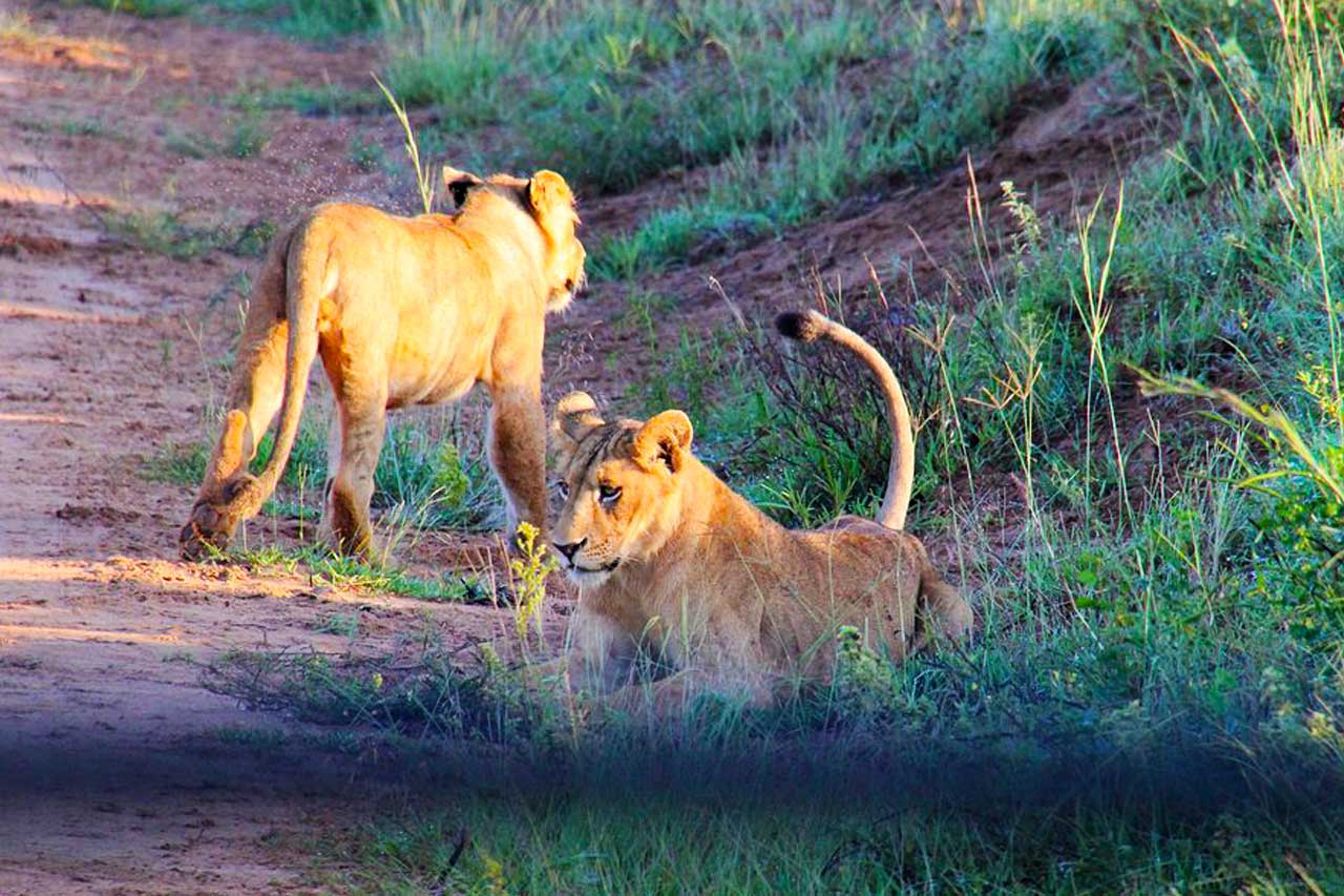 Facts about lions - Lions: Facts, Habitat and Characteristics of Lions