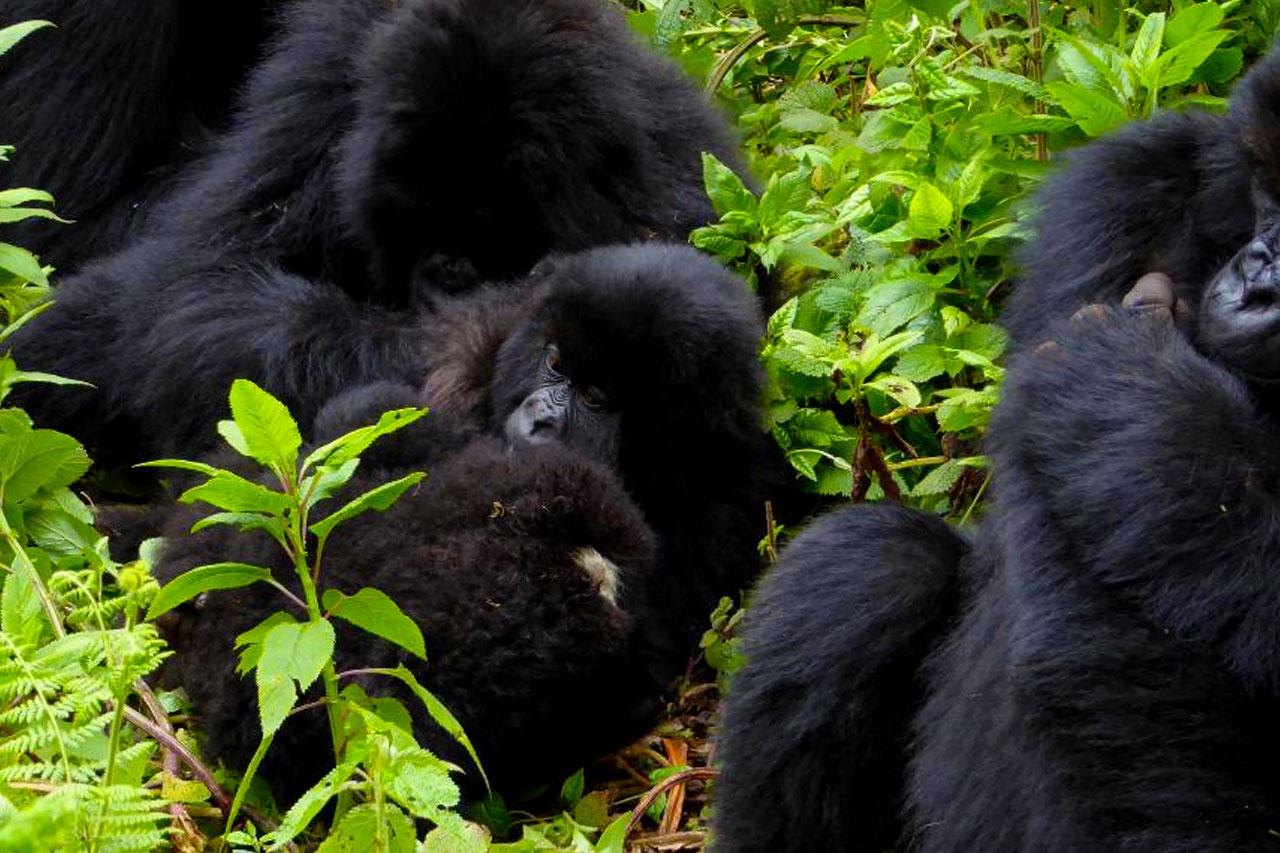 2 Days Gorilla Trekking safari Rwanda