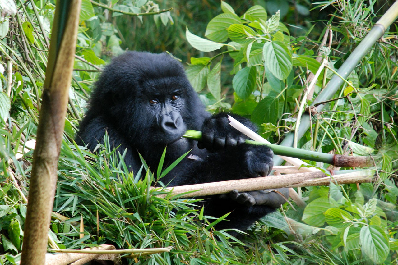 3 Days Gorilla habituation experience in Bwindi forest