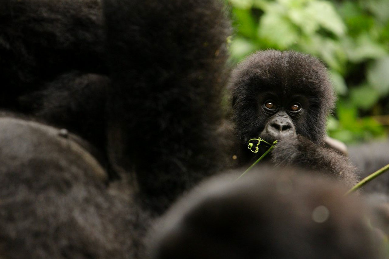 Gorilla Trekking Rwanda, in the Volcanoes national park