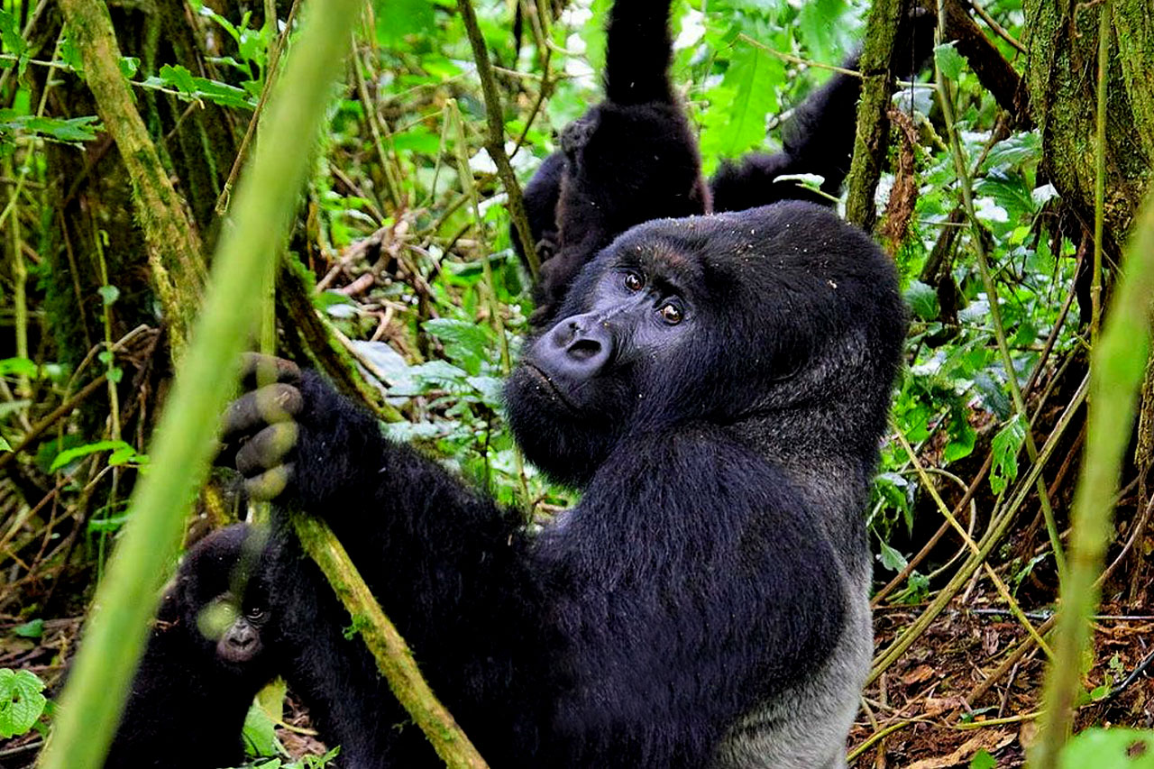 Mountain gorilla trekking in Democratic Republic of Congo
